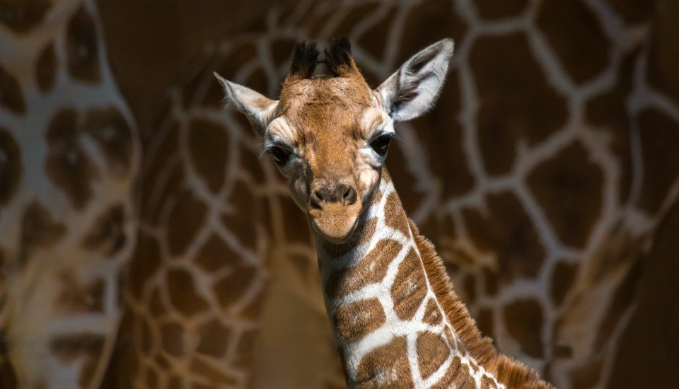 giraffe animal birth
