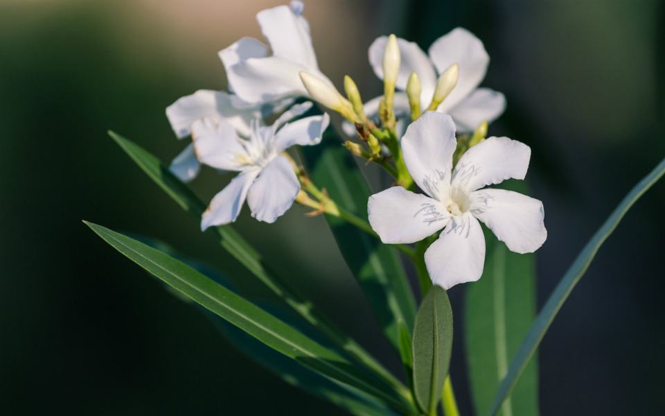 toxic plant warning oleander